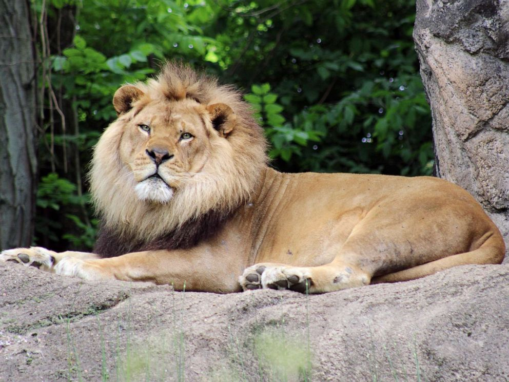PHOTO: Razi, a 10-year-old African lion who was diagnosed with idiopathic epilepsy in 2013, has died, according to the Pittsburgh Zoo.