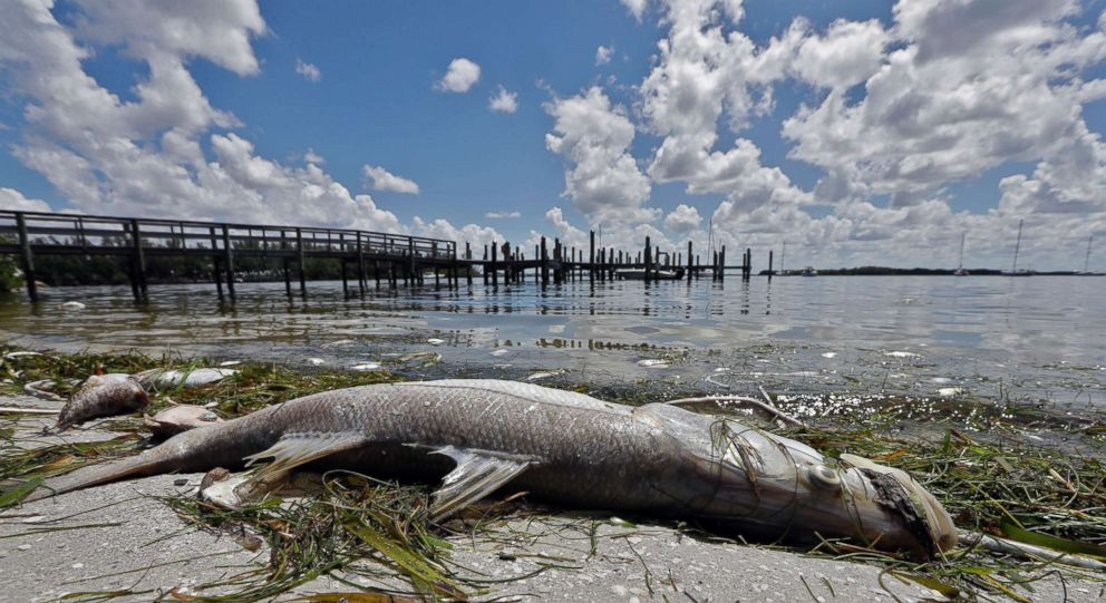 PHOTO: A dead Snook is shown along the waters edge in Bradenton Beach, Fla., Aug. 6, 2018.