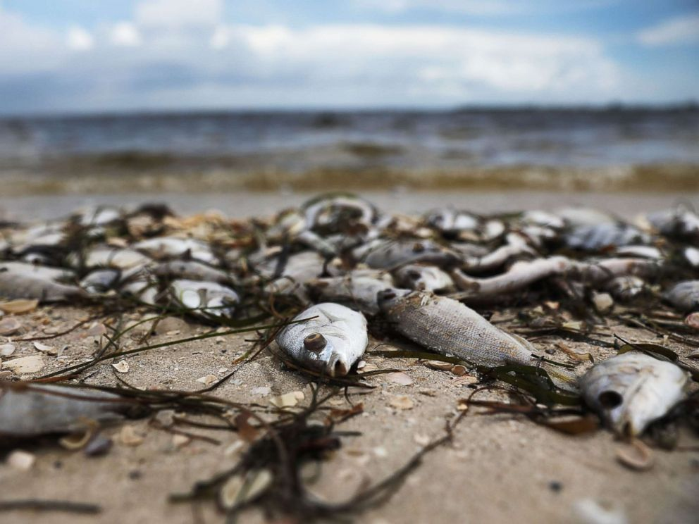 PHOTO: Fish are seen washed ashore the Sanibel causeway after dying in a red tide on Aug. 1, 2018 in Sanibel, Fla.
