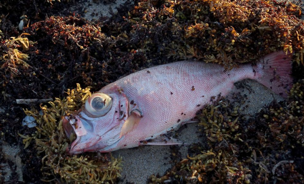 PHOTO: A dead fish is seen in the seaweed Oceanfront Park in Boynton Beach, Fla., Oct. 4, 2018.