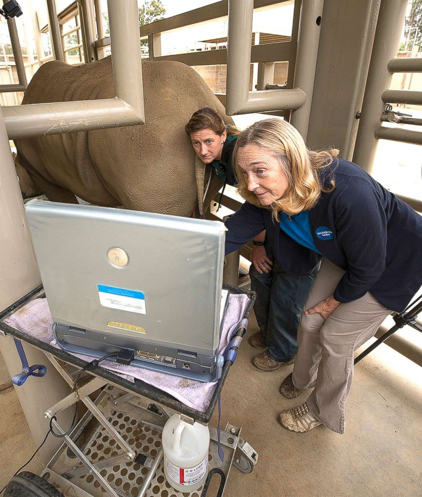 PHOTO: Barbara Durrant, right, director of reproductive Sciences at the San Diego Zoo Institute for Conservation Research and Parker Pennington, an associate, preform an ultrasound of Victoria in Escondido, Calif., May 15, 2018.