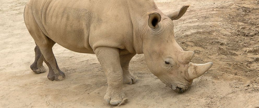PHOTO: Victoria, a southern white rhino female at the San Diego Zoo Safari Park in Escondido, Calif., is pictured on May 15, 2018.