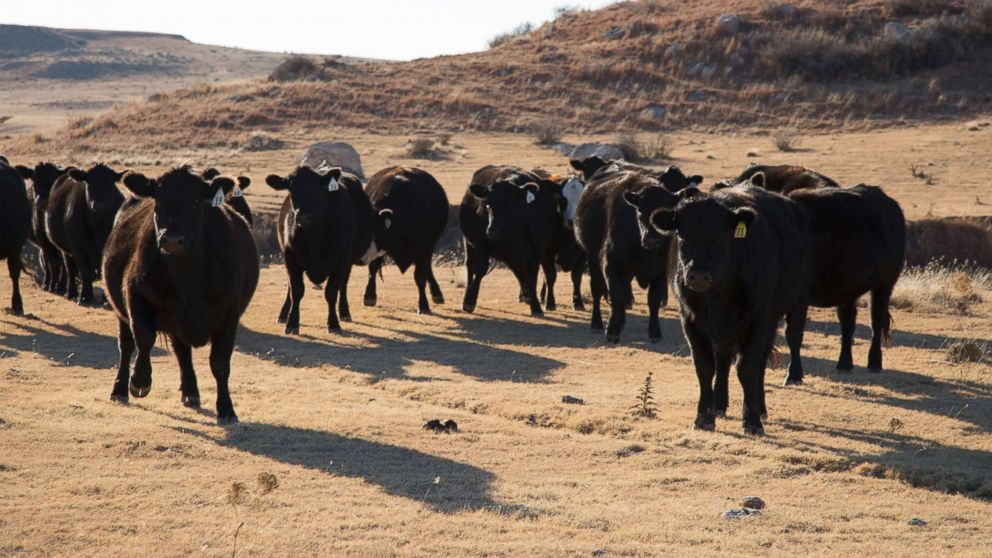 Cattle play a major role in the economy of Roberts County.
