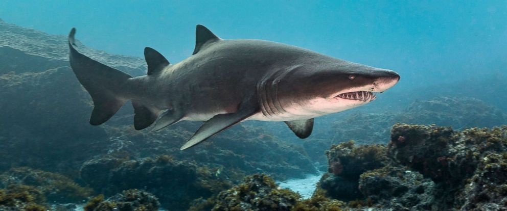 PHOTO: A sand tiger shark swims in an undated stock photo.