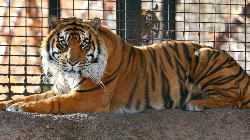 Zookeeper on the mend after tiger attack at Kansas zoo thumbnail