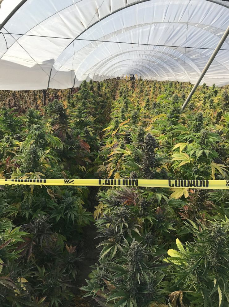 PHOTO: According to officials, 350,000 plants and 20 tons of processed cannabis were seized on June 17th, 2019