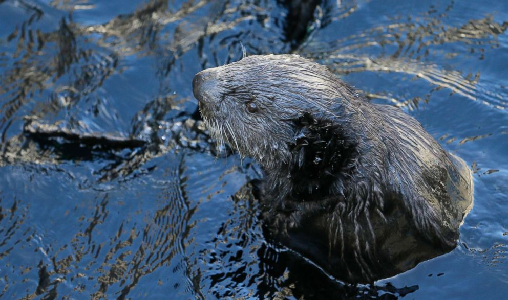 PHOTO: A sea otter is seen at the Monterey Bay Aquarium in Monterey, Calif., March 26, 2018. The otters, once thought wiped out by the fur trade, are booming again in a federally-protected enclave of Northern California coast.