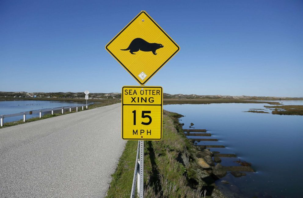 PHOTO: A sign warns motorists of sea otters at the Elkhorn Slough in Moss Landing, Calif., March 26, 2018. A wildlife-friendly pocket of tidal salt marsh and rich sea grass in the curve of Monterey Bay, sea otters have rebounded to more than 3,000 today.