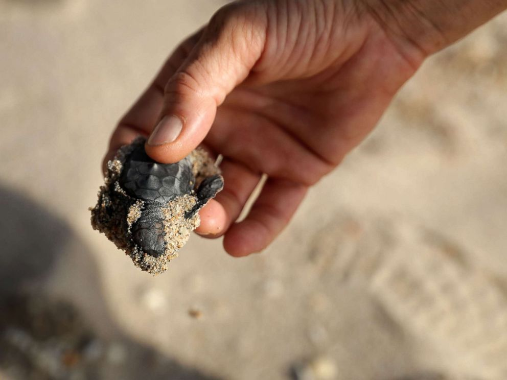 PHOTO: Sea Turtle Oversight Protection co-founder Richard WhiteCloud recovers a Loggerhead sea turtle hatchling that drowned during Hurricane Irma along Fort Lauderdale Beach, Sept. 11, 2017, in Fort Lauderdale, Fla.