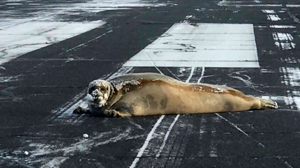 450 pound seal removed from alaska airport runway on a sled abc news