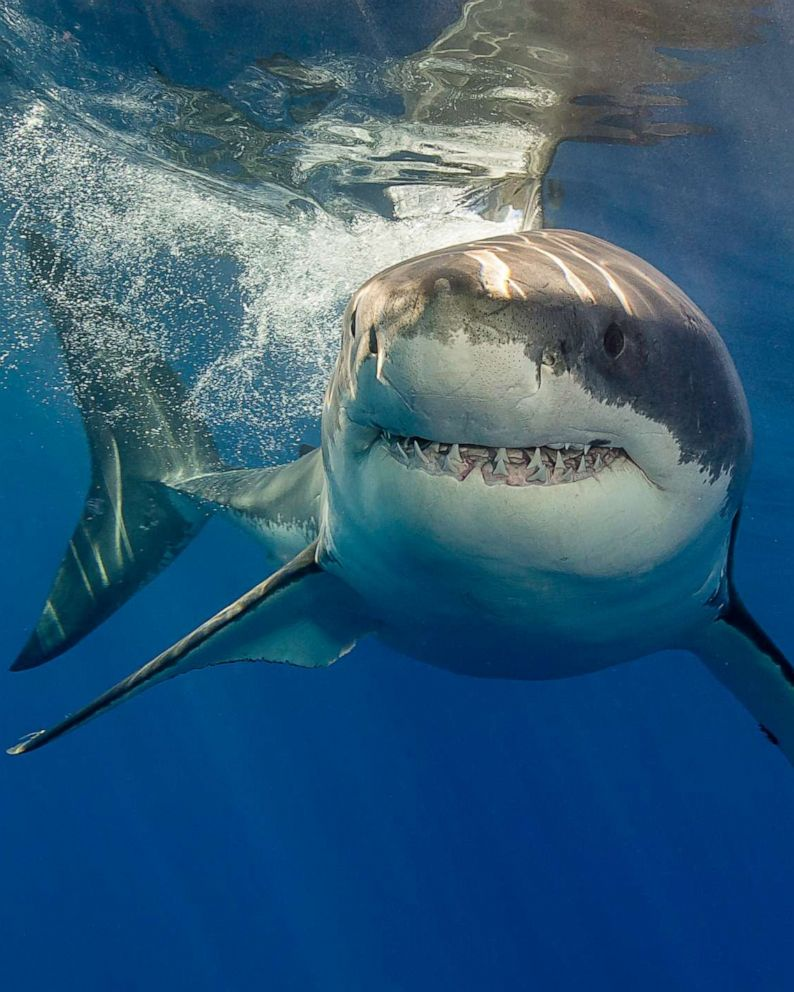 Shark attacks declined throughout the world in 2019, according to new  report - ABC News