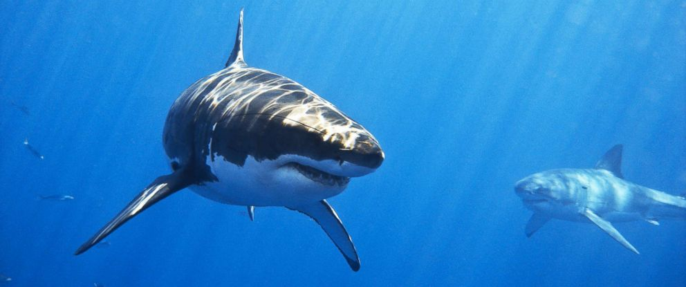 PHOTO: Two male great white sharks swim off of Isla de Guadalupe, Mexico in this undated stock photo.
