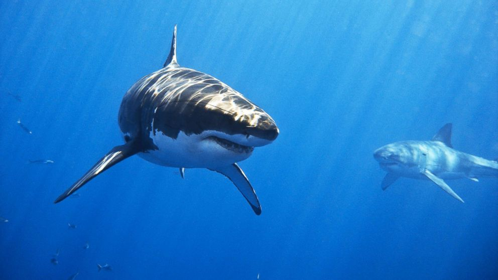 Two male great white sharks swim off of Isla de Guadalupe, Mexico in this undated stock photo.