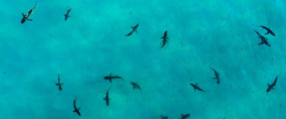 PHOTO: Black tip sharks during sunset.