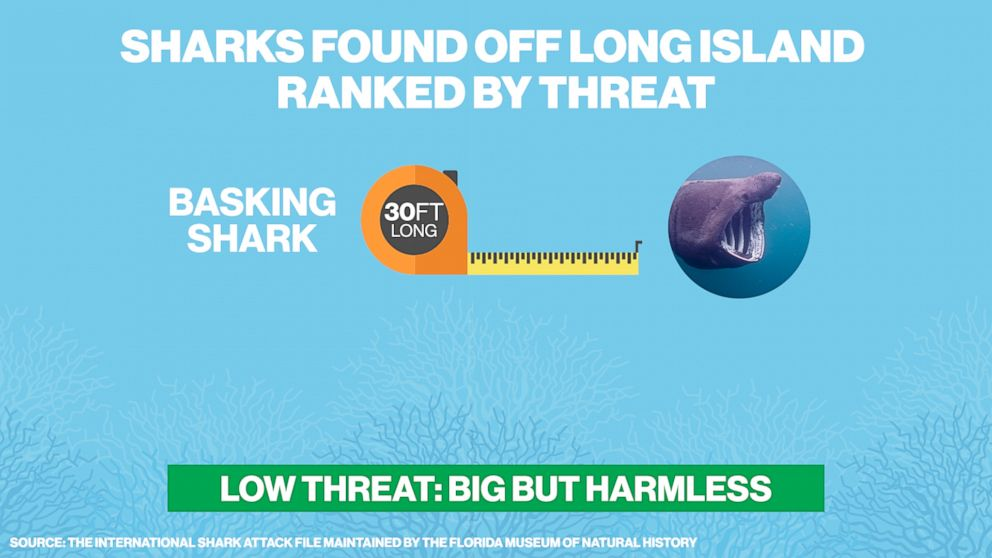 PHOTO: The big but harmless basking shark can be found in the waters off of Long Island, N.Y.