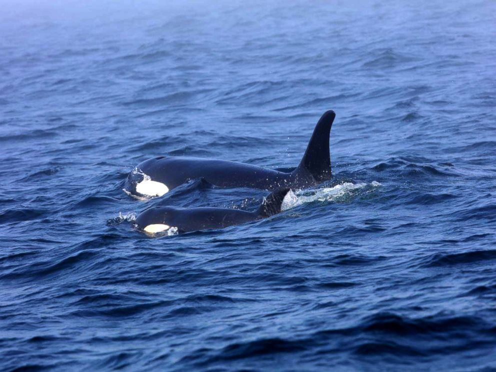 PHOTO: Southern Resident killer whale J50 and her mother, J16, off the west coast of Vancouver Island near Port Renfrew, B.C., on August 7, 2018.