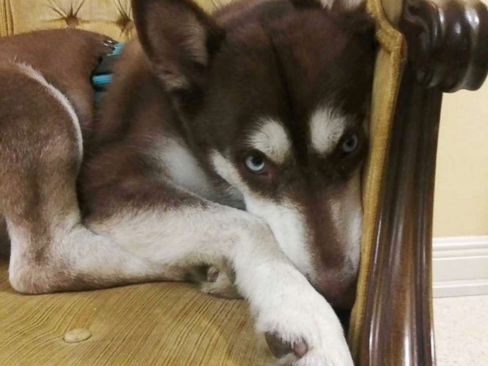PHOTO: Sinatra the husky snuggles on a chair at the Verrill family home in a Tampa, Fla., suburb before he was returned to his owners on Nov. 26, 2018, almost two years after he ran away from his Brooklyn, New York home.