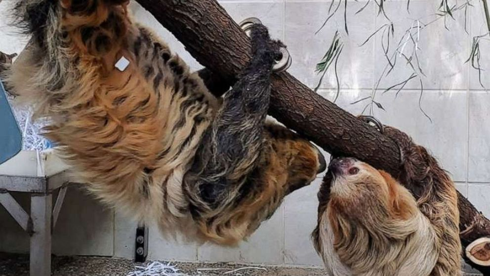 Sloth couple at Cincinnati Zoo taking their budding relationship slow