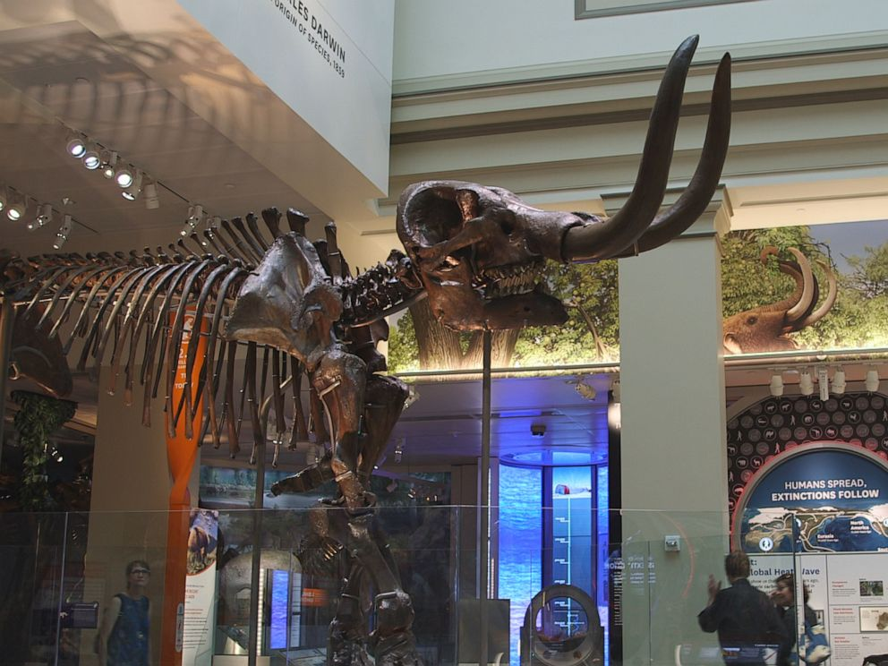 PHOTO: A mastodon skeleton is shown at the Smithsonian National Museum Of Natural History in this undated file photo.
