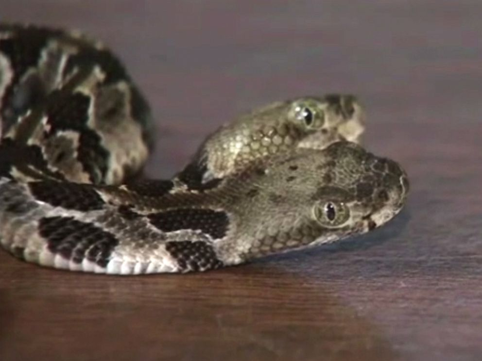 PHOTO: A rare two headed rattlesnake found in New Jersey.