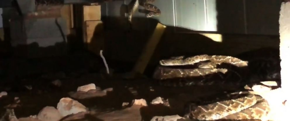 PHOTO: Big Country Snake Removal retrieved 45 rattlesnakes from under a home near Abilene, Texas.