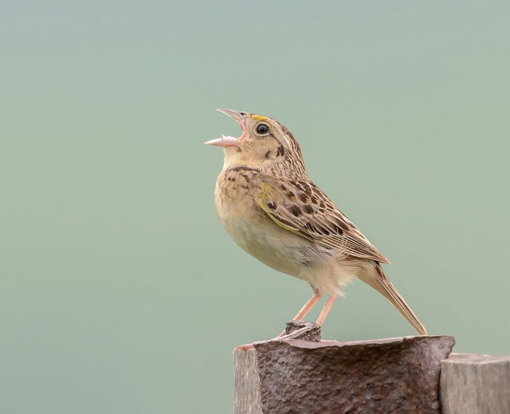 PHOTO: A Grasshopper Sparrow is shown perched on a post and singing in Pennsylvania.