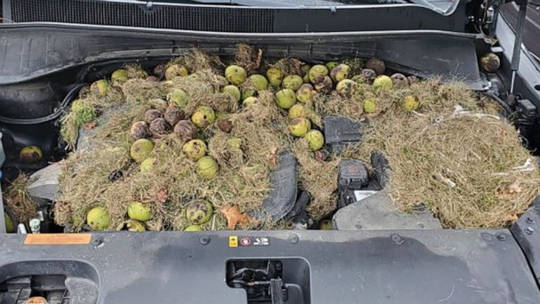 Pittsburgh woman finds 200 walnuts and squirrel's nest under hood of her car