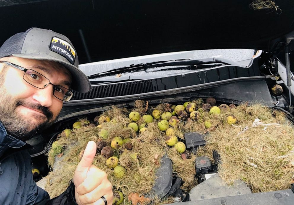PHOTO: Chris Persic and his wife Holly discovered around 200 walnuts under the hood of their car.