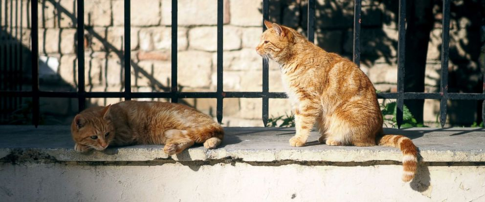 PHOTO: Two orange tabby stray cats are seen in this stock photo.