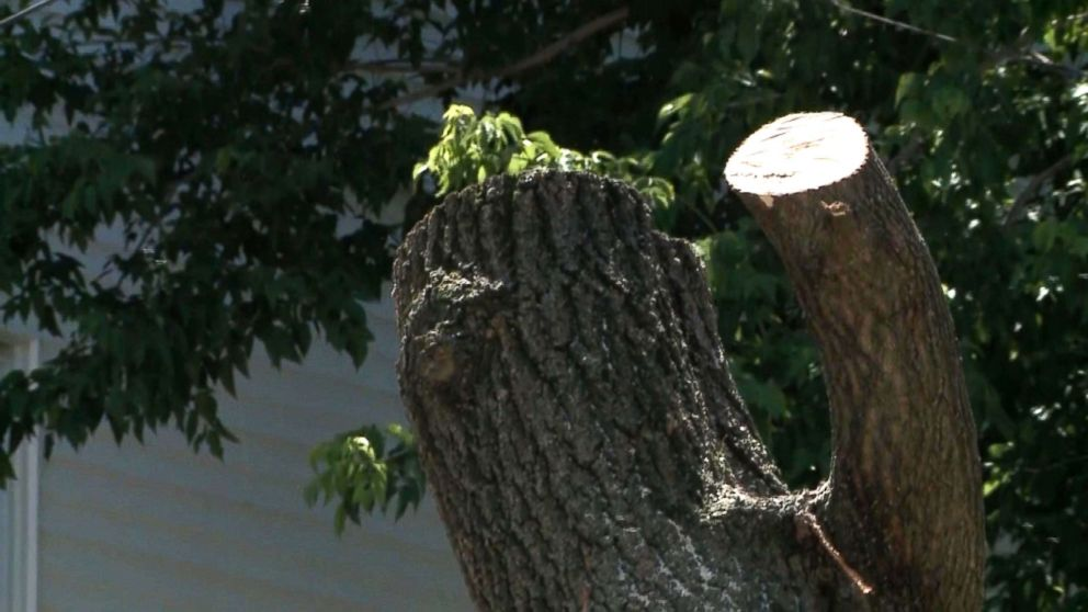 PHOTO: A report from WMUR said a tree-cutting crew cut into a beehive with several thousand bees inside which stung one of the two people more than a hundred times and four others were injured.