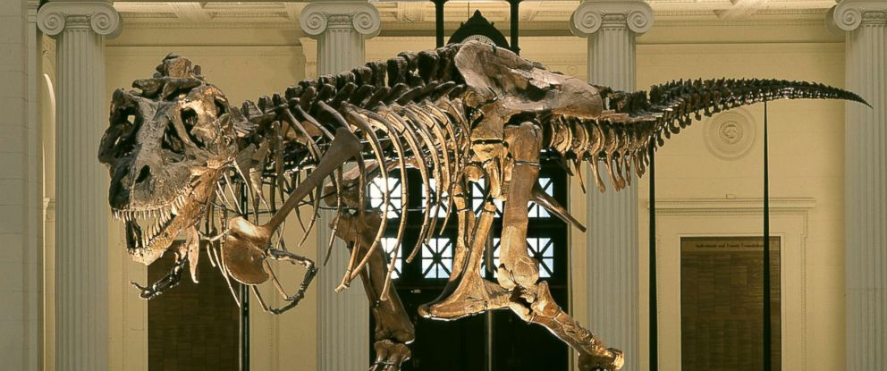 """PHOTO: The most complete T-rex skeleton ever discovered, known as """"Sue,"""" in her old position in the main hall of the Chicago Field Museum. Museum staff began the process of taking apart the skeleton on Feb. 5 to move it to a new exhibit."""