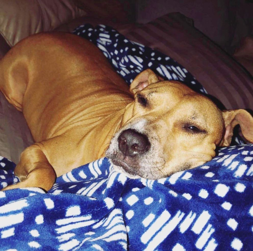 PHOTO: Sugar Mama, a tan Pit bull mix about 4 or 5 years old, was described by her owner as really sweet, despite the abuse she endured earlier in her life.