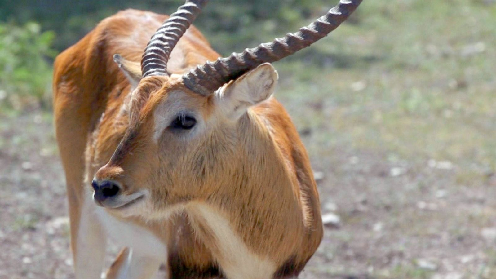 At some Texas ranches, hunting exotic animals is touted as a