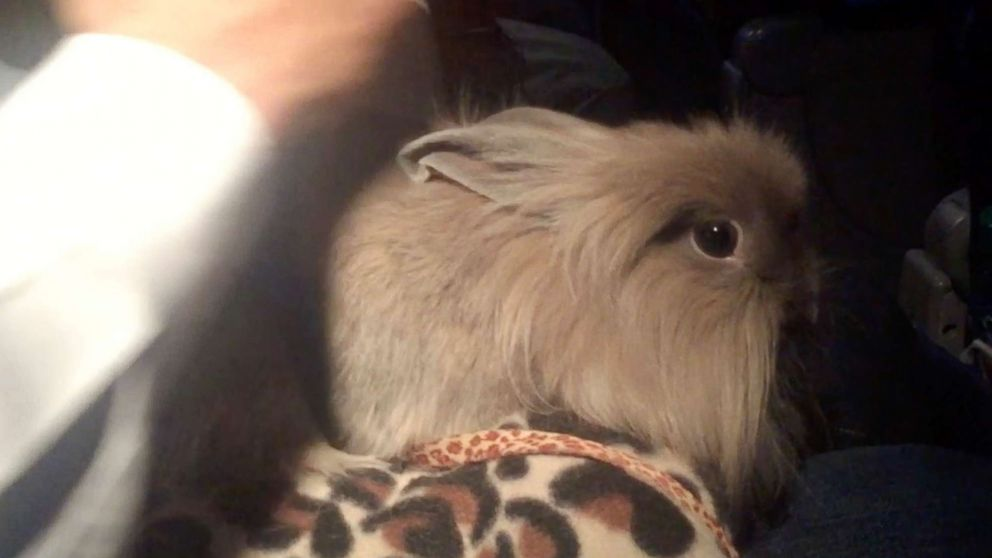 ABC News' Tom Llamas brought this rabbit aboard a flight after getting a certificate online.