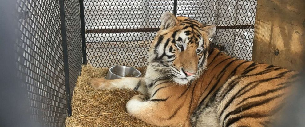 PHOTO: A male tiger is getting ready for the transport from Houston to Cleveland Amory Black Beauty Ranch, Feb. 12, 2019.
