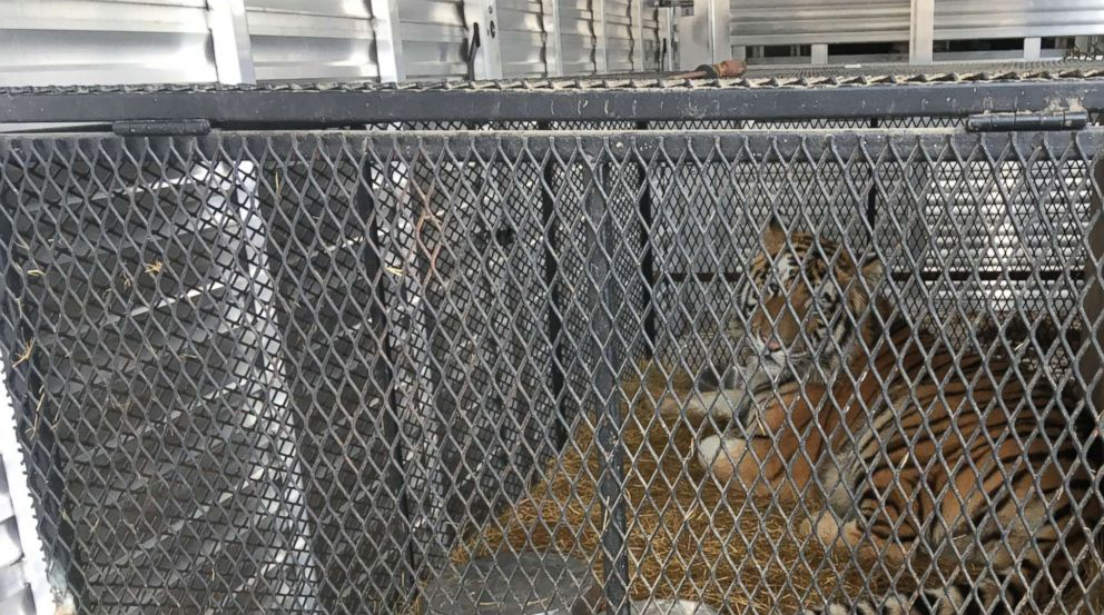 PHOTO: A young tiger found caged in an abandoned home in Houston has been relocated to the Cleveland Amory Black Beauty Ranch in Murchinson, Texas.