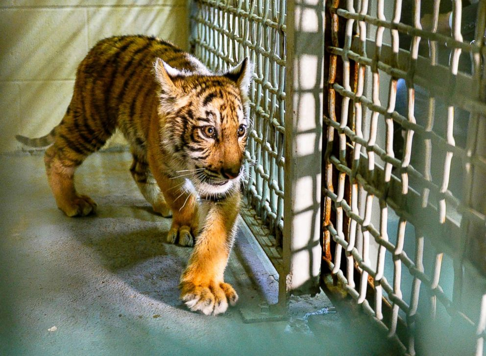 PHOTO: A tiger cub is shown inside a veterinary clinic on May 1, 2018, at Gladys Porter Zoo in Brownsville, Texas.