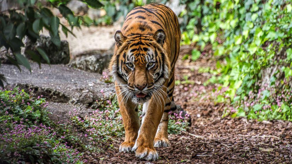 A tiger stalks through the jungle.