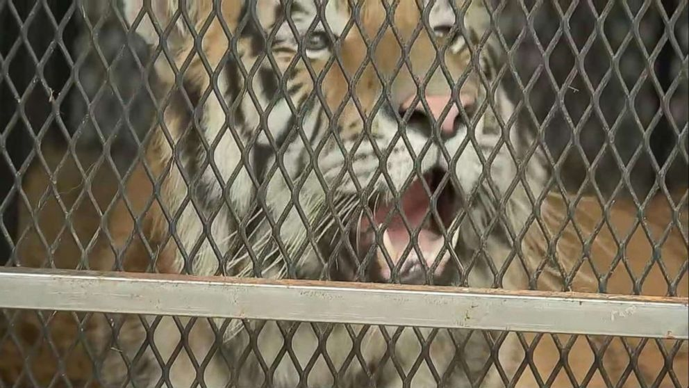 PHOTO: A female tiger recovered from an abandoned home in Houston, Texas is relocated to a care facility north of the city in an image made from KTRK video, Feb. 12, 2019.