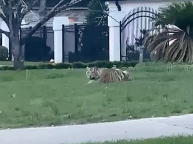 Alleged murderer and his tiger wanted after ditching police in high-speed pursuit