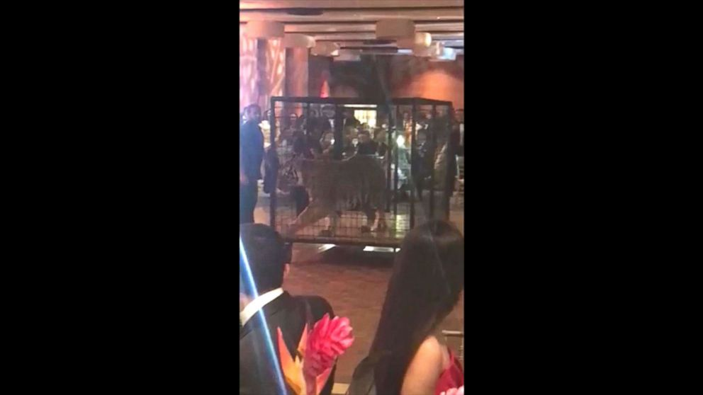 A handler is captured on cell phone video wheeling out a caged tiger on Friday as many Miami prom dance attendees from Christopher Columbus High School get out their cell phones to record the moment.