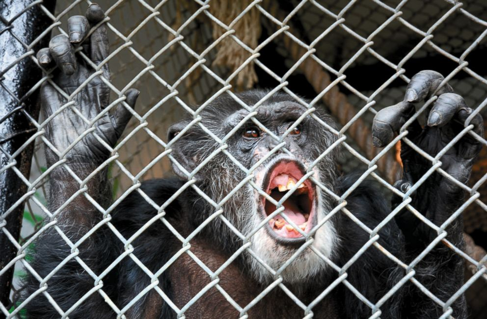 PHOTO: This Oct. 29, 2014, file photo shows Tommy, a chimpanzee,at his home in Gloversville, N.Y. who sued his owners in New York for freedom but lost the case.