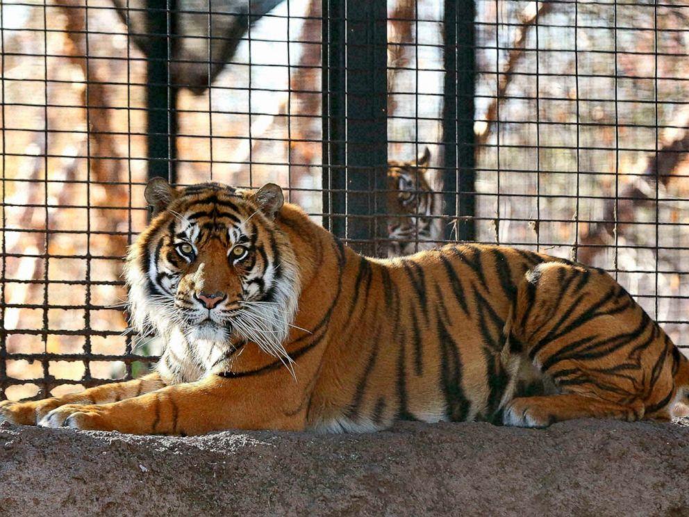 PHOTO: Sanjiv, a Sumatran tiger at the Topeka Zoo in Topeka, Kansas.