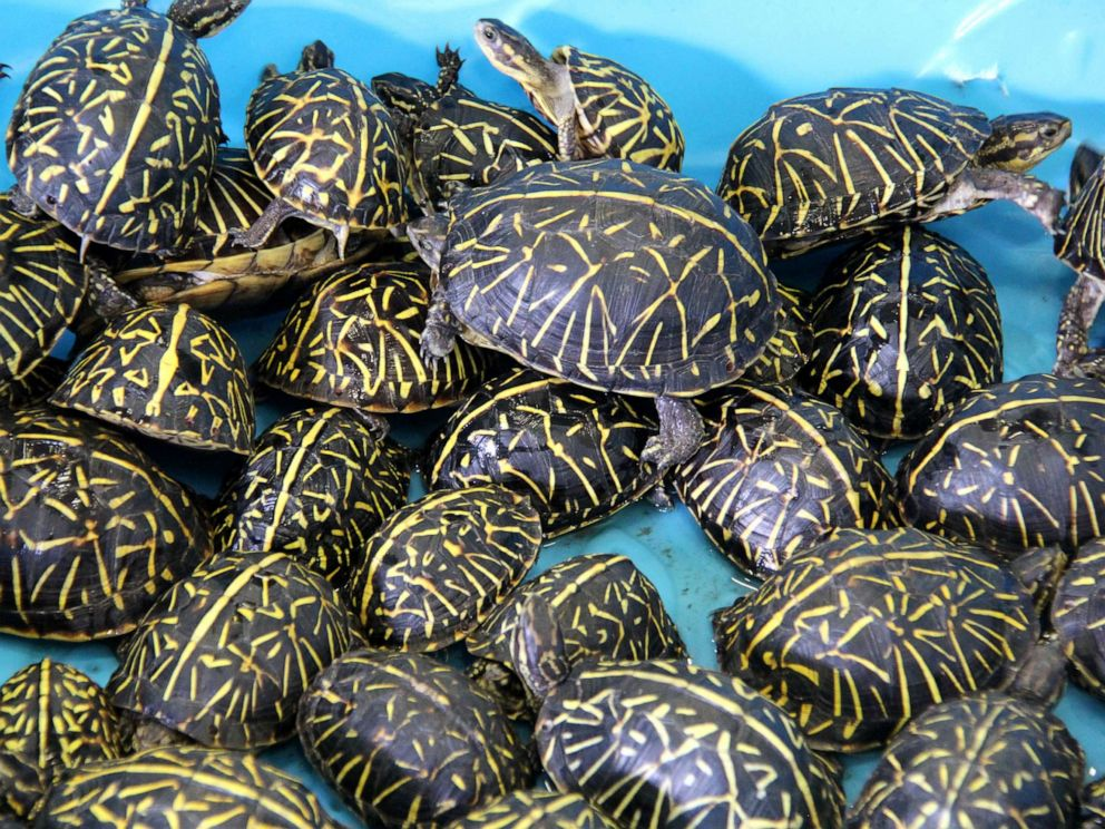 PHOTO: Wildlife officials in Florida returned turtles to the wild after busting a trafficking ring of thousands of the smuggled reptiles.