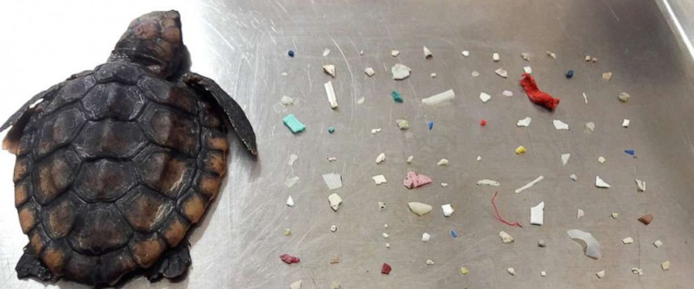 PHOTO: A baby sea turtle that died after washing ashore in Boca Raton, Florida, had 104 pieces of small plastic in it.