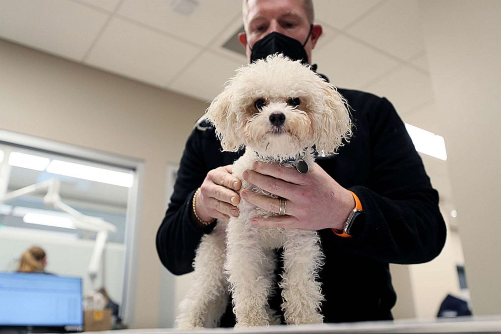 """PHOTO: Veterinarian Brian Bourquin works on one of his patients in Boston, Jan. 27, 2021.  Bourquin was disheartened that veterinarians weren't prioritized until Phase 3 of vaccination plan despite being busy giving care to """"pandemic pets""""."""