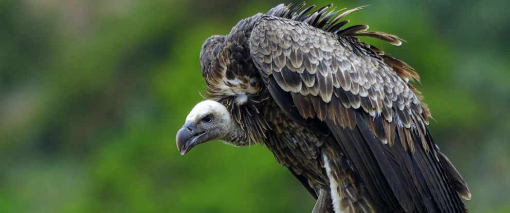 PHOTO: A vulture sits on tree steam in this undated stock photo.