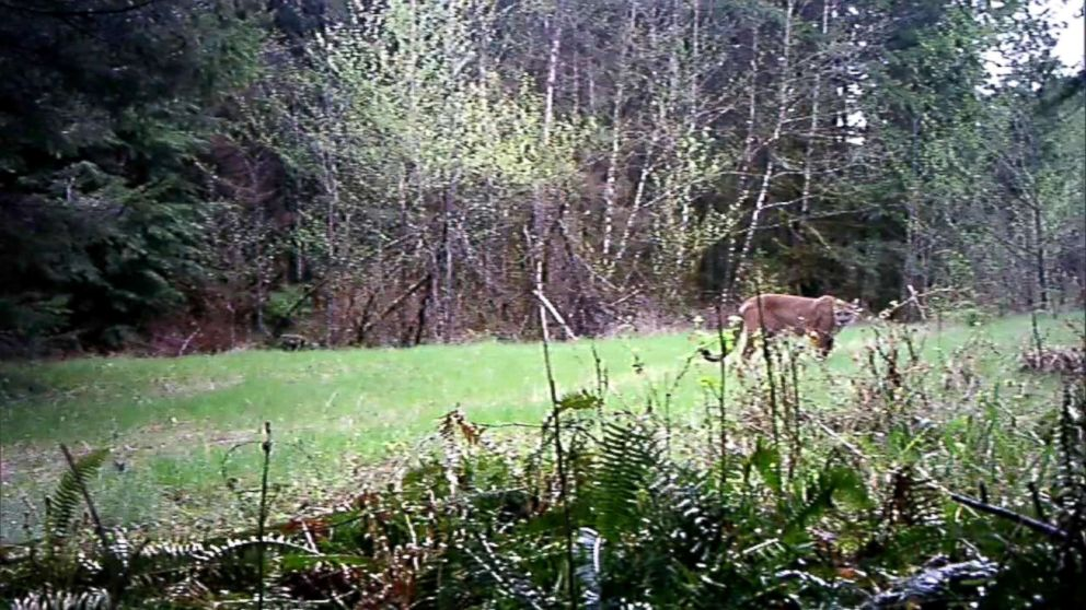 """Washington Fish and Wildlife police tracked down and killed a mountain lion suspected of fatally mauling one mountain biker and seriously injured another on Saturday in the Cascade Mountain foothills. Officials described the euthanized cougar as """"emaciated."""""""