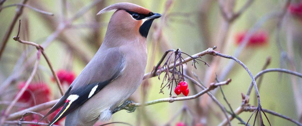 PHOTO: A Bohemian Waxwing bird in an undated stock photo.
