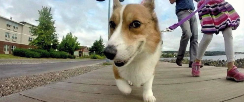 PHOTO: The Asbury family from Minnesota created a bucket list of experiences for their Welsh Corgi, Oscar, who is dying of cancer.